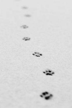 dearscience:  day 138 - Take Nothing but Pictures. Leave nothing but footprints. (explore 2012_02_10) (by AlexTurton): Cats, Footprints Photography, Animals, Black And White, Pet, Pawprints, Dog, Black Cat Photography, Alexturton