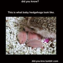 Did You Know Archive » 12 interesting facts you probably didn't know: Babies, Cutenes, Baby Hedgies, Hedge Hogs, Baby Hedgehogs, Baby Animals, Hedgehog Baby, Adorable Animal