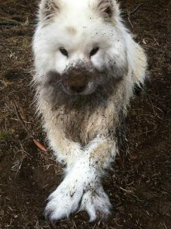Dirty Samoyed - I remember when our Samoyed heard a squirrel up the chimney, and we came home to an all black Sammy...she drank all the water in bowl and toilet because soot made her mouth so dry....so sad!: Animal Pics, Animals, Dogs, Samoyed, Pets, Phot
