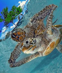 Double Turtle = awkward turtle hahah: Animals, Sea Life, Sea Creatures, Sealife, Seaturtles, Beautiful, Ocean, Sea Turtles, Photo