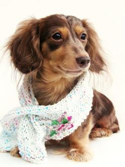 {doxie in a scarf} adorable: Dachshund Dogs, Doxie Baby Dogs, Dachshund Puppies, Cute Scarfs, Dogs Puppy, Adorable Doggie, 14 Pets Animals