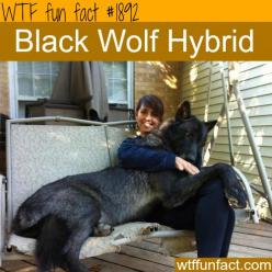Facts about animals, intersting animals information WTF Facts : funny, interesting & weird facts: Animals, Dogs, Black Wolf, Pet, Wolf Hybrid, Wolfhybrid, Black Wolves