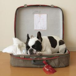 Fancy - French Bulldog: Animals, French Bulldogs, Suitcase, Pets, Frenchbulldog, Boston Terriers