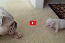 Feisty little pup! When Elvis The Bulldog Puppy Talked Back To His Mommy I Nearly Fell Out Of My Chair! OMG!: Bulldogs 3, Baby Deer, Babies, Animals, Cute Bulldogs, Baby Bulldogs, Baby Talking, Bull Dogs