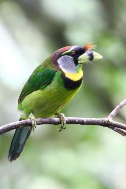 Fire-tufted Barbet, found in Indonesia, Malaysia & Thailand: Poultry, Fire Tufted Barbet, Beautiful Birds, Animals Birds, Birds Asian Barbets, Photo, Birds Feathered, Birds Barbets