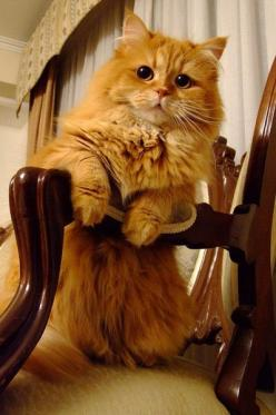 fluffy orange cat: Kitty Cat, Beautiful Cats, Pet, Orange Cats, Kitty Kitty, Animal