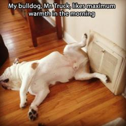 Friday's Funny Pictures – 85 Pics!: Animals, English Bulldogs, Funny Stuff, Funnies, Funny Animal, Maximum Warmth