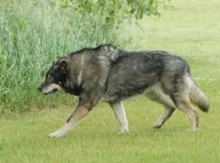 From my birth until 7th grade we had a wolf/Shepard hybrid named Samson! He was an awesome dog! Id love to have another one!: Wolf Dogs, Animals, Wolfdog, Pet, Wolf Hybrids, Wolf Dog Hybrid, German Shepherds, Wolves, Dog Breeds