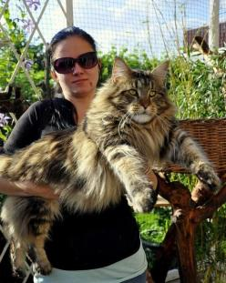 """From the board """"Cats"""" by Cathleen Cooks… Browse the wonderful photos to lift your spirits!  Maine Coon - and we thought Ziggy was a big cat: Big Cat, Cats, Huge Cat, Main Coon Cat, Big Maine Coon Cat, Lion Cub, Animal, Mainecoon"""