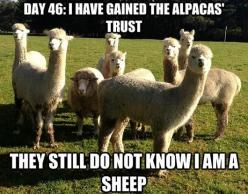 funny animal memes, animal pictures with captions, funny animals: Animals, Alpacas, Funny Stuff, Humor, Sheep, Funnies, Funny Animal
