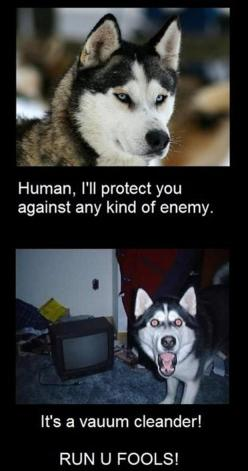 funny+captions   30 Funny animal captions - part 9, funny animal memes, funny animals ...: Funny Animals, Vacuum Cleaners, Dogs, Funny Pictures, Animal Caption, So True, Husky, Funnies