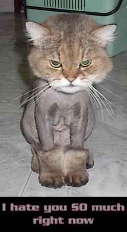 funny shaved cat cats kitten kittens kitties kittie kitty: Cats, Ugg, Animals, Stuff, Funny, Poor Kitty, Funnies, Boots