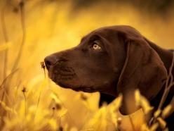 German Shorthaired (Chris McKay via National Geographic) #germanshorthaired #gsp: Shorthaired Pointers, Animals, Shorthair Pointer, Dogs, German Shorthaired Pointer, Chocolate Labs, Pet, Friend, Photography