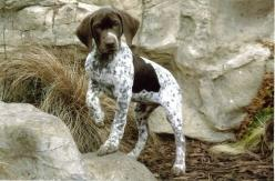 German Shorthaired Pointer! <3: Doggie, Shorthaired Pointers, Shorthair Pointer, Gsps, German Shorthaired Pointer, Gsp Dogs, Baby