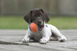German shorthaired pointer: Shorthaired Pointers, Shorthair Pointer, Dogs, German Shorthaired Pointer, Pet, Gsp, Animal