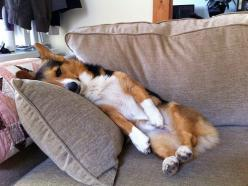 Give me a 7 minute power nap and I'll be good to go!: Silly Corgi, Bassets Corgis, So Tired, Welsh Corgis, Corgi S, Comfy Corgi, Corgis Rule, Corgi Tastic, Animal