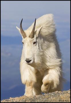 """Goat: To see a goat in your dream represents your lack of judgment and your gullibility. Alternatively, goats are symbolic of sexuality, sexual desire, and lechery. Also consider the associations with the goat as in """"scapegoat"""" or """"getting som"""