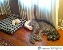 Good friends don't mind swapping sometimes: Animals, Dogs, Bed, Pets, Funny, Irish Wolfhound, Funnie