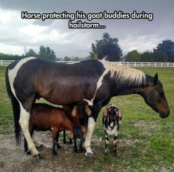 Good Guy Horse: Three Goats, Animals, Friends, Sweet, Horses, Horse Protecting, Protecting Goats, Goat Buddies