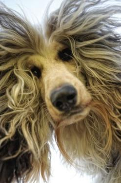 Good to know! If your dog gets all upset during a storm, it is more than likely due to static build up in his coat. Take a dyer sheet & rub him down.: Afghan Hound, Animals, Cat, Dogs, Hairs, Pets, Funny, Bad Hair, Friend