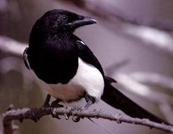 Google Image Result for http://www.cs.vu.nl/~kielmann/magpie-photo.jpg: Sorrow, Google Search, Animal Spirit Guides, Totem Animals, Birds, Lucky Magpie