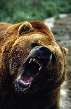 Gotta love the GRIZZ!!!!: Bear, Animals, Bears Oh, Creatures, Wildlife, Angry Grizzly Bear, Grizzly Bears