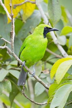 ☀Greater Green Leafbird Male (Chloropsis sonnerati): Colorful Birds, Leafbird Male, Greater Green, Male Chloropsis, Beautiful Birds, Chloropsis Sonnerati, Photo, Animal, Green Leafbird