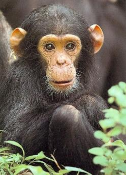 HABITAT Chimpanzees live in a wide variety of habitats, including tropical rain forests (in the forest edges and clearings), woodlands, swamp forests, and grasslands in western Africa.: Baby Monkey, Babies, Animals, Monkey Business, Monkeys, Baby Chimpanz