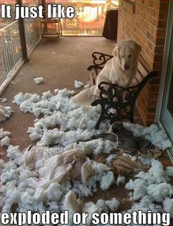 haha reminds me of a time when Luxe was a puppy lol.. she managed to get all the stuffing out by unzipping the pillow!:): Animals, Dogs, Stuff, Pet, Funnies, Funny Animal