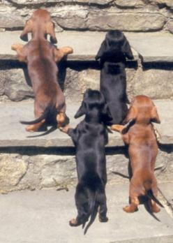 hahahahhaha one of my favorite things is when the weiner dogs are on their hind legs and a group of them doing this is sooooooooooooo stinkin cute.: Animals, Weenie Dogs, Doxie, Dachshund Dog, Puppy, Weiner Dogs, Baby Dachshund