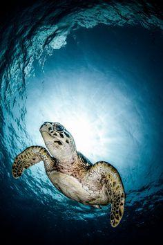 Hawaiian Green Sea Turtle.: Sea Life, Animals, Clark, Seaturtles, Hunt, Ocean, Sea Turtles, Photography