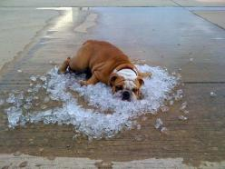 he new way bull dogs are staying cool?: Animals, Bulldogs, Hotdog, Pets, Funny, Summer, Things, Hot Dogs