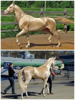 Here's a good example of the Akhal-Teke's famous shine. They actually have hollow hair fibers that reflect light thus giving them the metallic shine. They are one of the only breeds of horses to have this. I think the Kinsky is the only other bree