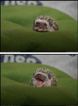 here is a hedgehog sticking out his tongue, just for you.: Hedge Hog, Cuteness, Animals, Pets, Hedgie, Baby Hedgehogs, Adorable, Funny Animal, Hedghog