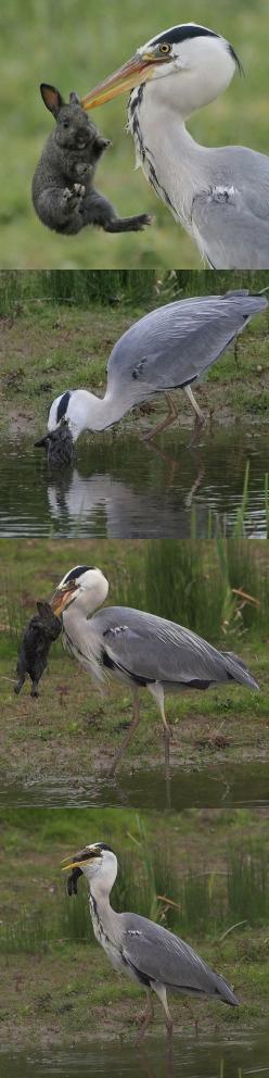 Heron and bunny adventure.. - http://www.seethisordie.com/animalsbeingjerks/heron-and-bunny-adventure/ #animals #cats #funny #fun: Environmental Education, Thought, Animals Cats, Real Place, Cats Funny