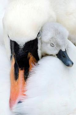 http://www.facebook.com/pages/Pour-la-protection-des-animaux-et-de-la-nature/120423378016370: Animals, Mothers Love, Sweet, Swan, Baby, Birds, Photo
