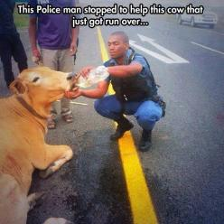 Human compassion for an injured animal... #compassion #animals: Car, Police Officer, Help, Animals, Hero, Officer Stops, Hit, Cow, Acts Of Kindness
