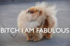I'm not a big pom fan....but that puppy is fabulous!: Animals, Dogs, Quote, Funny Stuff, Things, Pom Pom, Pomeranian, I'M Fabulous