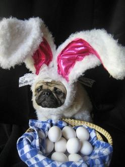 I did the Easter Bunny's job this year #pugbunny #easter: Easter Pug, Animals, Dogs, Pet, Funny, Pugs, Bunnies, Happy Easter, Easter Bunny