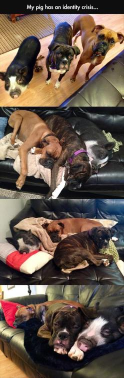 I didn't even realize it was a pig at first.: Dogs, Identity Crisis, Pigs, Funny Picture, Boxers, Funny Animal