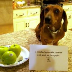 I don't like apples: Animals, Dog Shaming, Dachshund, Apple, Bad Dog, Doxie, Pet Shaming