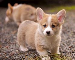 I guess I might be a little obsessed with corgis lately :-): Corgis, Welsh Corgi, Dogs, Baby Corgi, Corgi Puppies, Corgi S, Puppy, Box, Animal