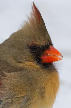 I love the feather texture on this female Northern Cardinal: Beautiful Birds Cardinals, Art Photography Birds, Cardinal Birds, Cardnial Birds, Cross Stitch, Cardinals Birds Art, Cardinal Photography