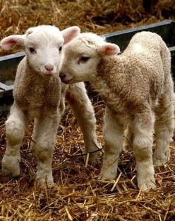 I think my new project could come from these sweet babies.: Farm Animals, Babies, Baby Lambs, Sweet, Baby Sheep, Spring Lamb, Baby Animals, Friend