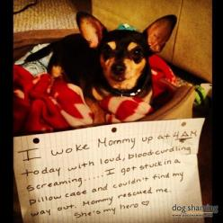 I usually don't like dog shaming, but this is too cute.: Pillow Cases, Dogs, Dog Shaming, Hero, Pillowcase, Funny, Humor, Chihuahua, Animal