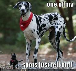 i want a great dane like this to pair up with my little black chihuahua. how freaking cute!: Great Danes, Animals, Dogs, Pet, Funny Stuff, Funnies, Funny Animal