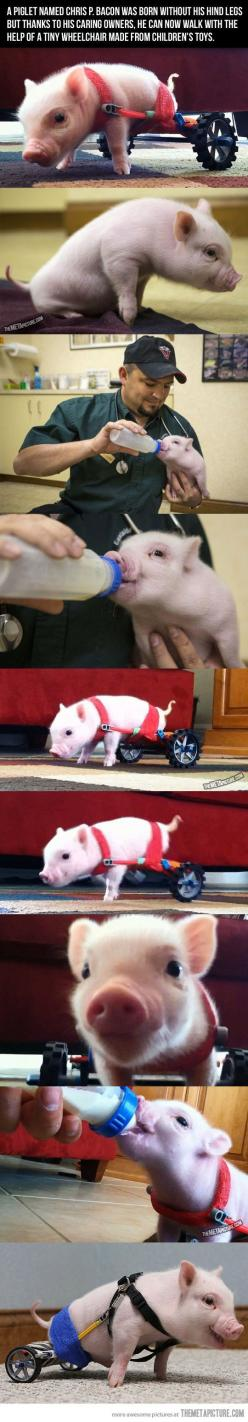 I WANT. such a beautiful little piggy with a beautiful story, my heart just broke and healed itself up again instantaneously: Sweet, Wheelchair, Pigs, My Heart, Bacon, Animal, Piglet