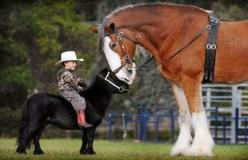 I want that horse! (the one on the right) - and this is adorable!: Picture, Animals, Sweet, Horses, So Cute, Things, Clydesdale Horse, Photo