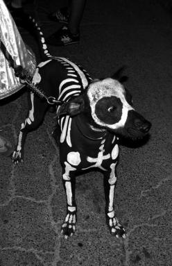 I want to do this to one of my dogs, too bad they are both long-haired and spotted differently.: Skeleton Dog, Dogs, Halloween Costumes, Pet, Dog Costumes, Halloweencostume, Costume Idea, Animal
