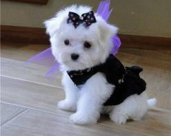 I will have this dog one day! Even with a bow in her hair!: Maltese Puppies, Maltese Dogs, Teacup Maltese, Maltese Puppy, Teacup Puppies, Pet, Puppys, Animal, Furry Friends